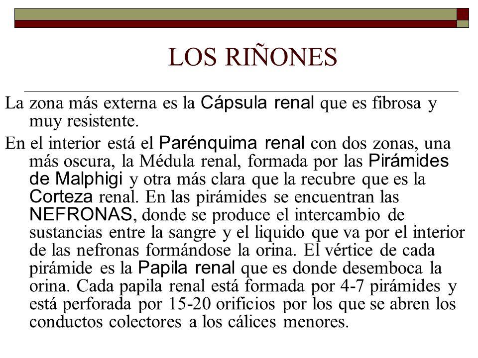 LOS RIÑONES La zona más externa es la Cápsula renal que es fibrosa y muy resistente.