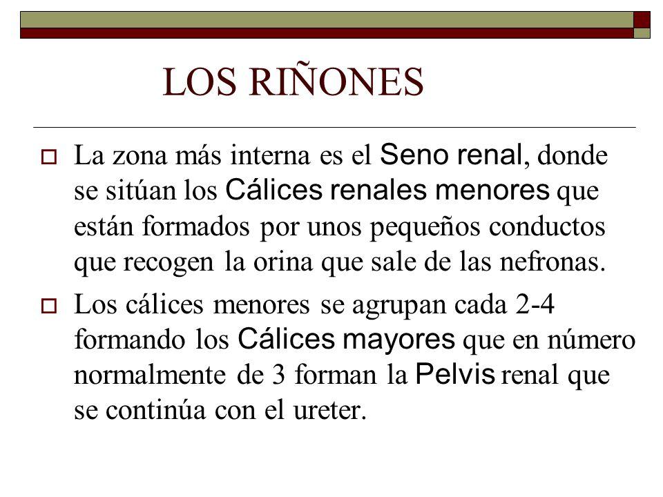 LOS RIÑONES  La zona más interna es el Seno renal, donde se sitúan los Cálices renales menores que están formados por unos pequeños conductos que recogen la orina que sale de las nefronas.