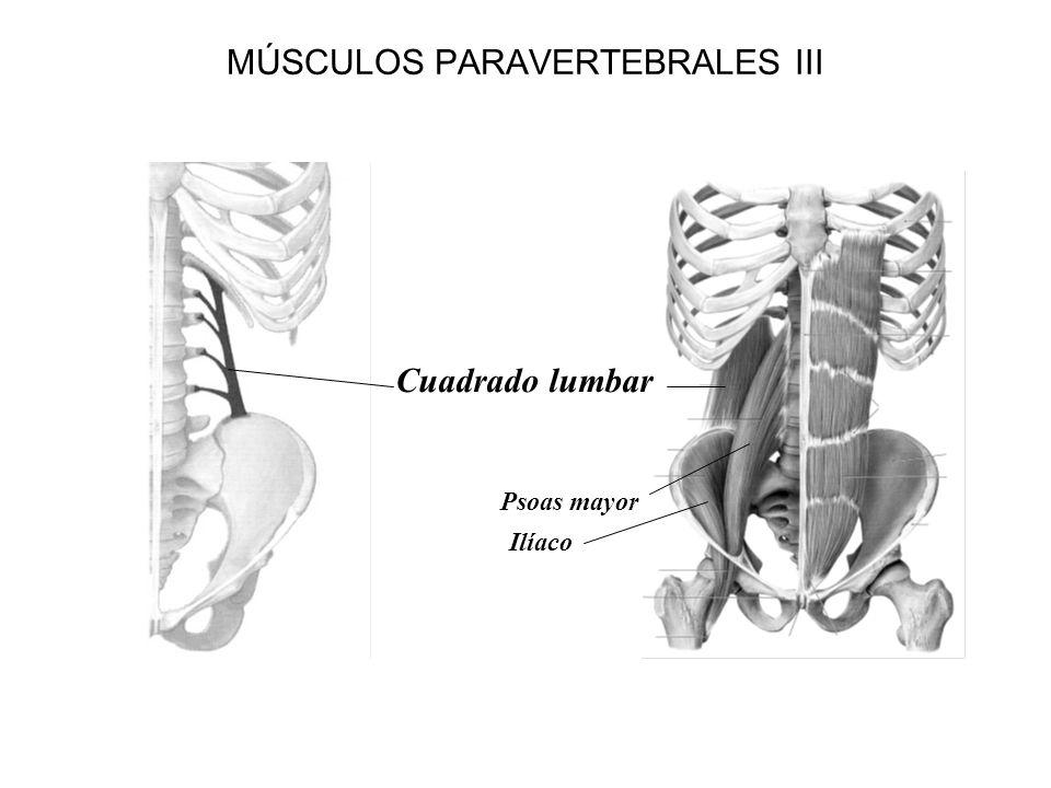 MÚSCULOS PARAVERTEBRALES III Cuadrado lumbar Psoas mayor Ilíaco