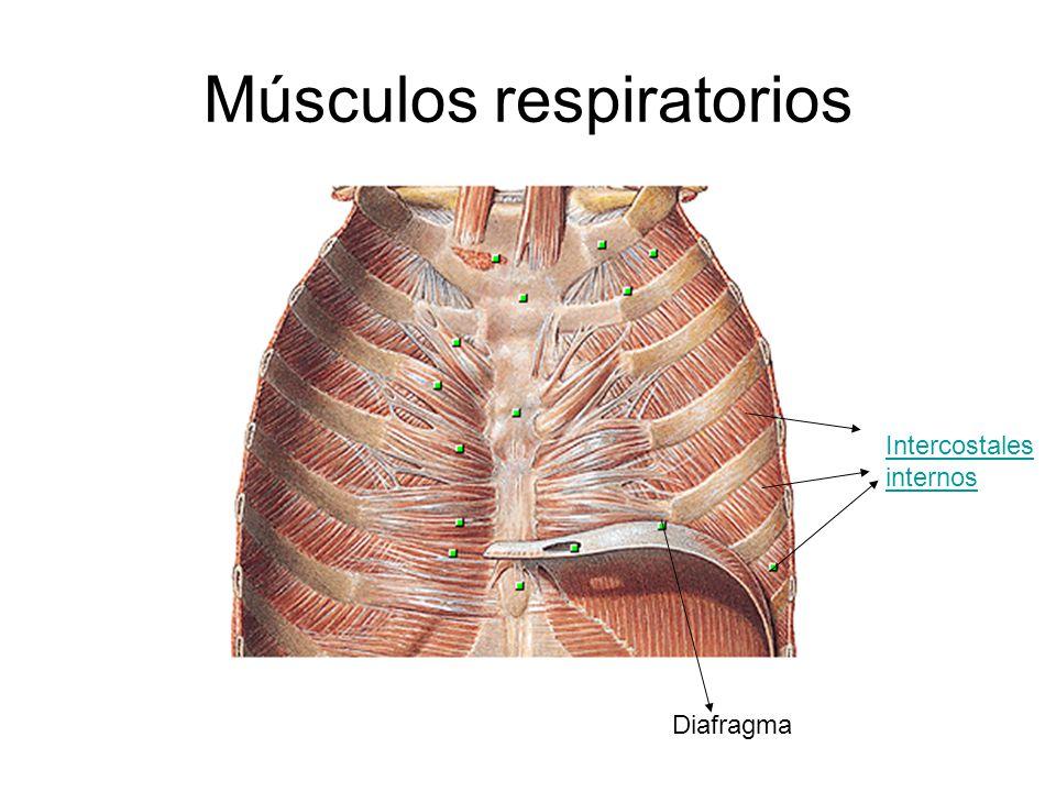 Diafragma Intercostales internos