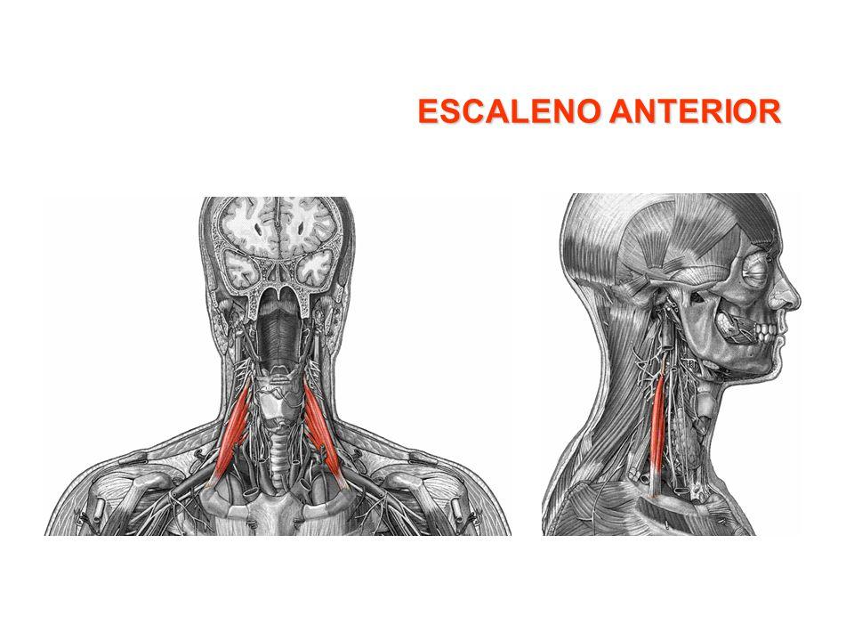 Músculos respiratorios Músculos inspiratorios: –Músculos principales: Diafragma Intercostales externos Supracostales –Músculos accesorios: Esternocleidomastoideo Escalenos Serratos Iliocostal (parte superior)parte Músculos espiratorios: –Músculos principales: Intercostales internos –Músculos secundarios: Recto abdominal Oblícuos externo e interno del abdomen Transverso Iliocostal (parte inferior)