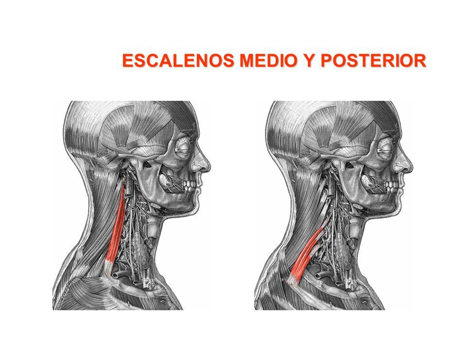 Músculos Inspiratorios El diafragma.- Es un músculo interno que separa el abdomen del tórax; tiene forma circular con unas elevaciones denominadas cúpulas situadas debajo de los pulmones.