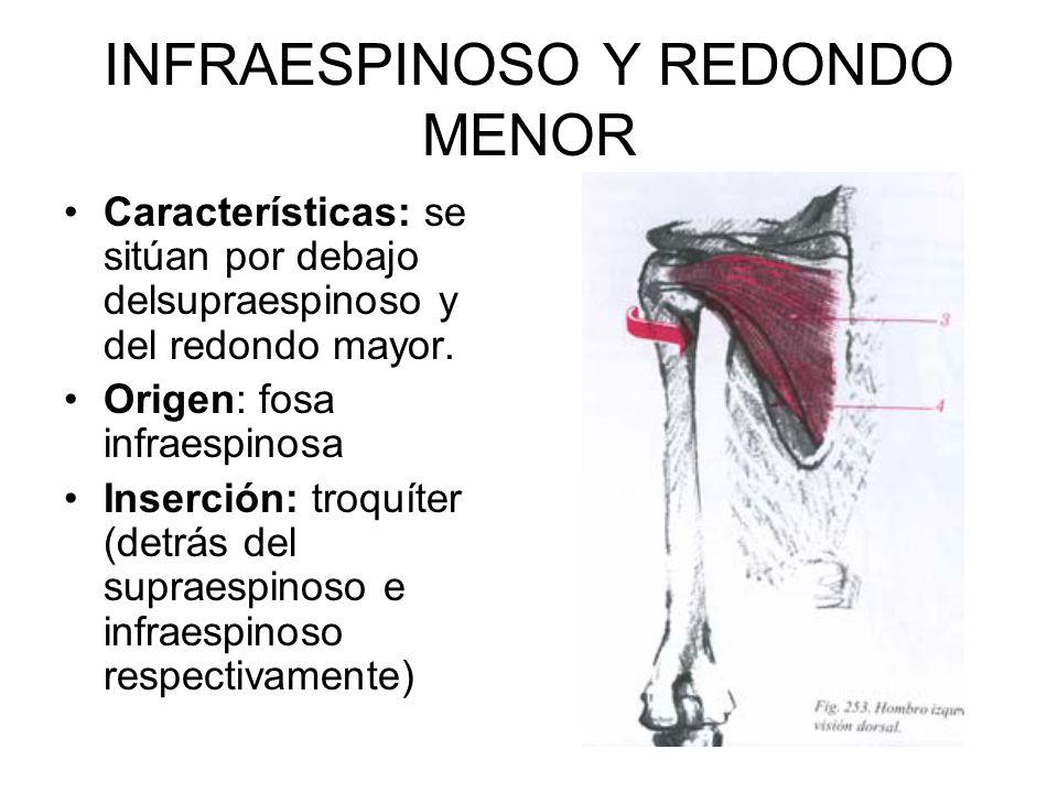 INFRAESPINOSO Y REDONDO MENOR Características: se sitúan por debajo delsupraespinoso y del redondo mayor.