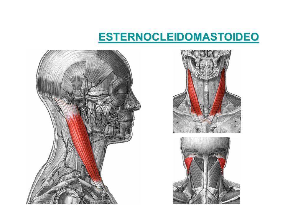 PECTORAL MAYOR Características: – Tiene forma de abanico – Viene desde el esternón hasta el húmero Origen: se origina en la clavícula, en el esternón y en los cartílagos costales.