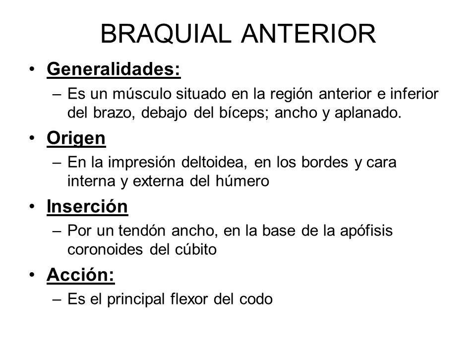 BRAQUIAL ANTERIOR Generalidades: –Es un músculo situado en la región anterior e inferior del brazo, debajo del bíceps; ancho y aplanado.