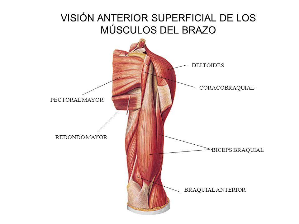 VISIÓN ANTERIOR SUPERFICIAL DE LOS MÚSCULOS DEL BRAZO BICEPS BRAQUIAL CORACOBRAQUIAL BRAQUIAL ANTERIOR REDONDO MAYOR PECTORAL MAYOR DELTOIDES