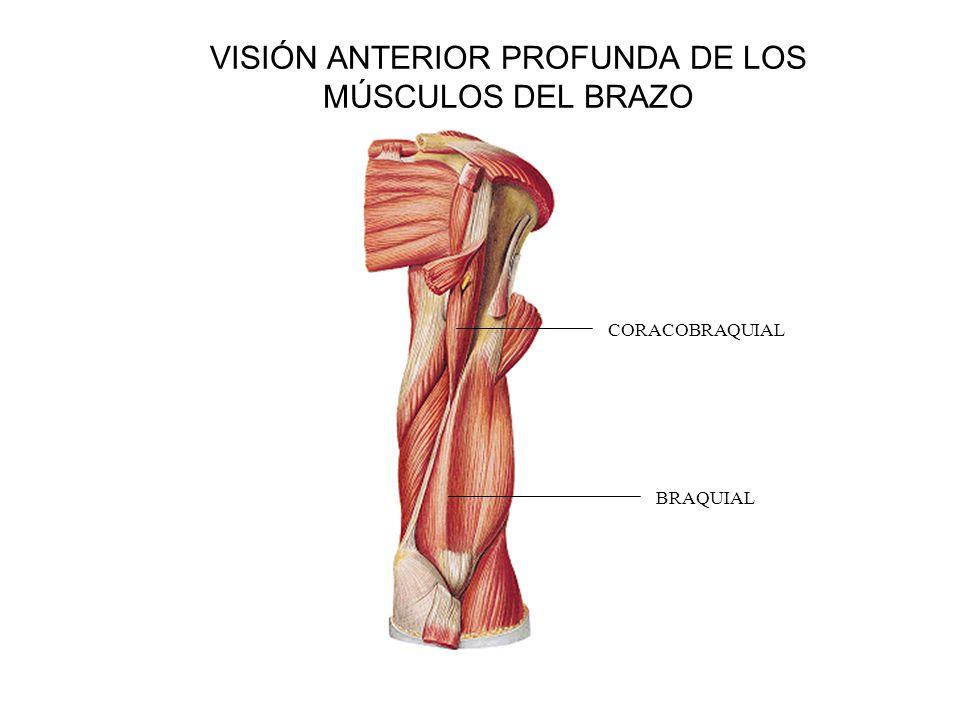 VISIÓN ANTERIOR PROFUNDA DE LOS MÚSCULOS DEL BRAZO BRAQUIAL CORACOBRAQUIAL