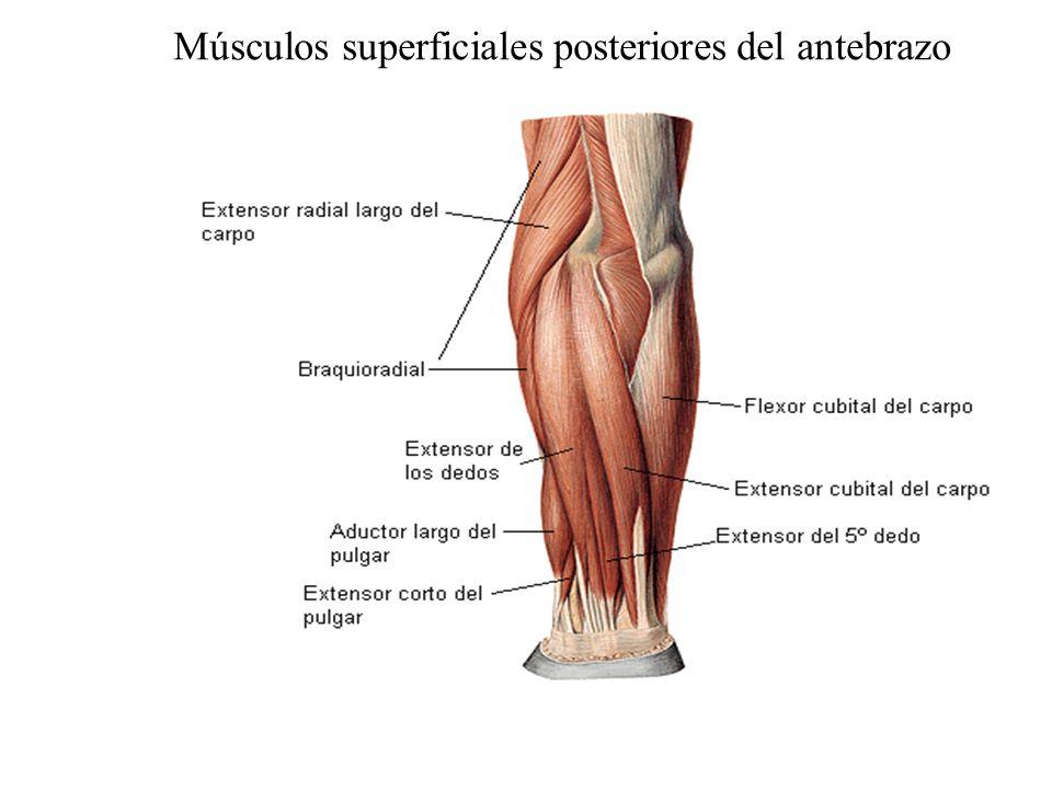 Músculos superficiales posteriores del antebrazo