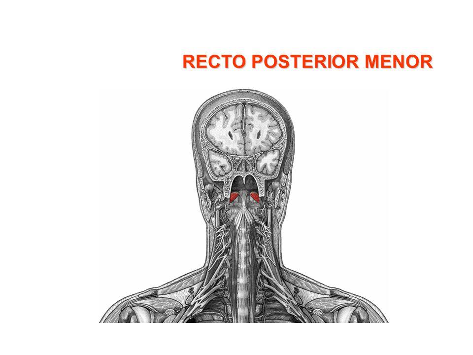 DORSAL ANCHO Características: –Va desde la cadera hasta el pico del omóplato.