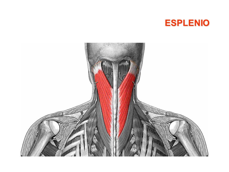 Cuadriceps femoral Características: –Es el músculo más grande y más evidente de la parte anterior del muslo –Tiene cuatro cabezas: Recto anterior Vasto interno Vasto externo Crural o vasto intermedio Origen: –Recto anterior: Espina iliaca antero-inferior – Vasto interno : Línea áspera del fémur – Vasto externo: Trocanter mayor y línea áspera del fémur –Crural o vasto intermedio: Cara anterior de la diáfisis femoral Inserción: Tuberosidad anterior de la tibia (las cuatro cabezas se juntan en el tendón del cuádriceps ó tendón rotuliano) Acción: Extensión de la rodilla, con ligera acción sobre la flexión de la cadera y rotación externa
