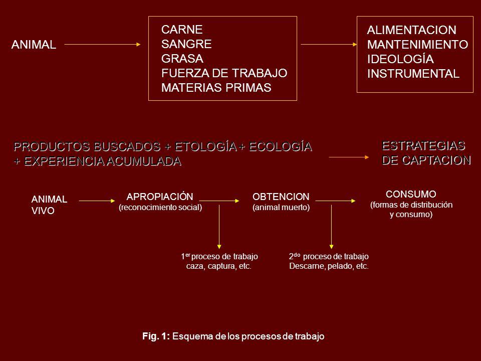 ANIMAL CARNE SANGRE GRASA FUERZA DE TRABAJO MATERIAS PRIMAS ALIMENTACION MANTENIMIENTO IDEOLOGÍA INSTRUMENTAL PRODUCTOS BUSCADOS + ETOLOGÍA + ECOLOGÍA + EXPERIENCIA ACUMULADA ESTRATEGIAS DE CAPTACION ANIMAL VIVO APROPIACIÓN (reconocimiento social) OBTENCION (animal muerto) 1 er proceso de trabajo caza, captura, etc.