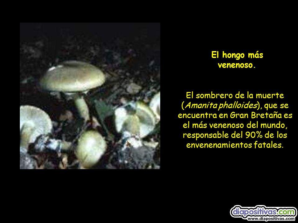 El sombrero de la muerte (Amanita phalloides), que se encuentra en Gran Bretaña es el más venenoso del mundo, responsable del 90% de los envenenamientos fatales.