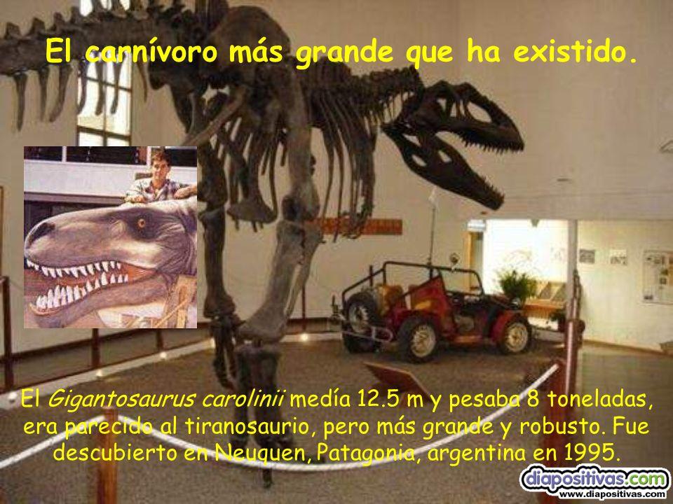 El Gigantosaurus carolinii medía 12.5 m y pesaba 8 toneladas, era parecido al tiranosaurio, pero más grande y robusto.