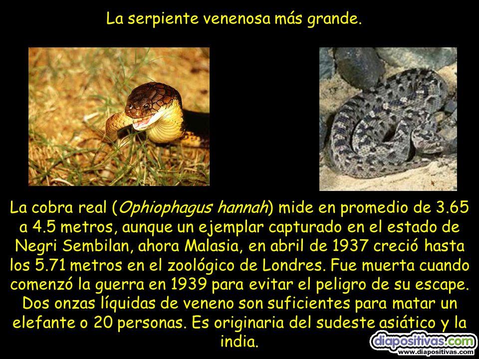 La cobra real (Ophiophagus hannah) mide en promedio de 3.65 a 4.5 metros, aunque un ejemplar capturado en el estado de Negri Sembilan, ahora Malasia, en abril de 1937 creció hasta los 5.71 metros en el zoológico de Londres.