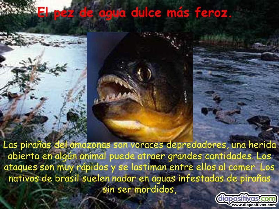 El pez de agua dulce más feroz.
