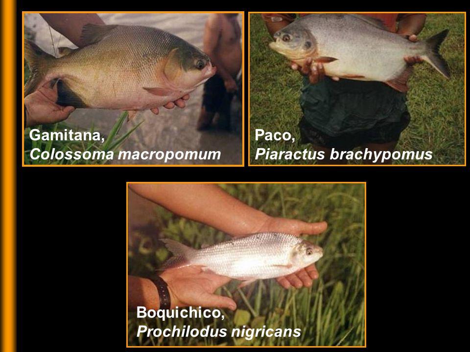 Gamitana, Colossoma macropomum Paco, Piaractus brachypomus Boquichico, Prochilodus nigricans
