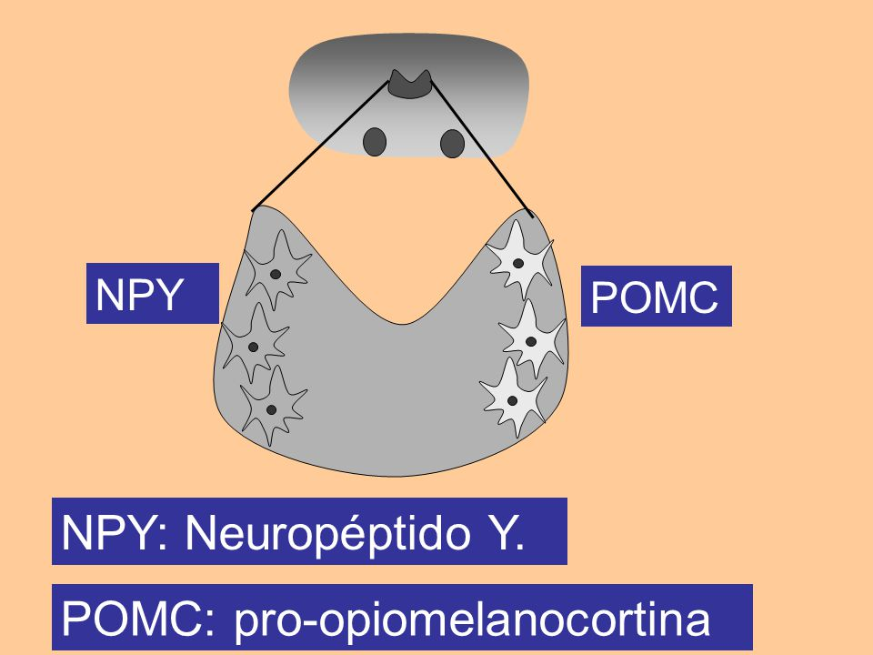 NPY POMC NPY: Neuropéptido Y. POMC: pro-opiomelanocortina