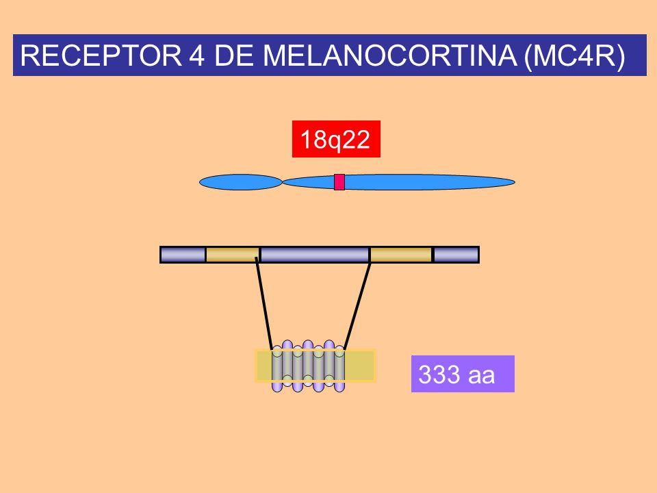 RECEPTOR 4 DE MELANOCORTINA (MC4R) 18q22 333 aa