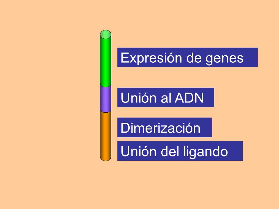 Expresión de genes Unión del ligando Dimerización Unión al ADN