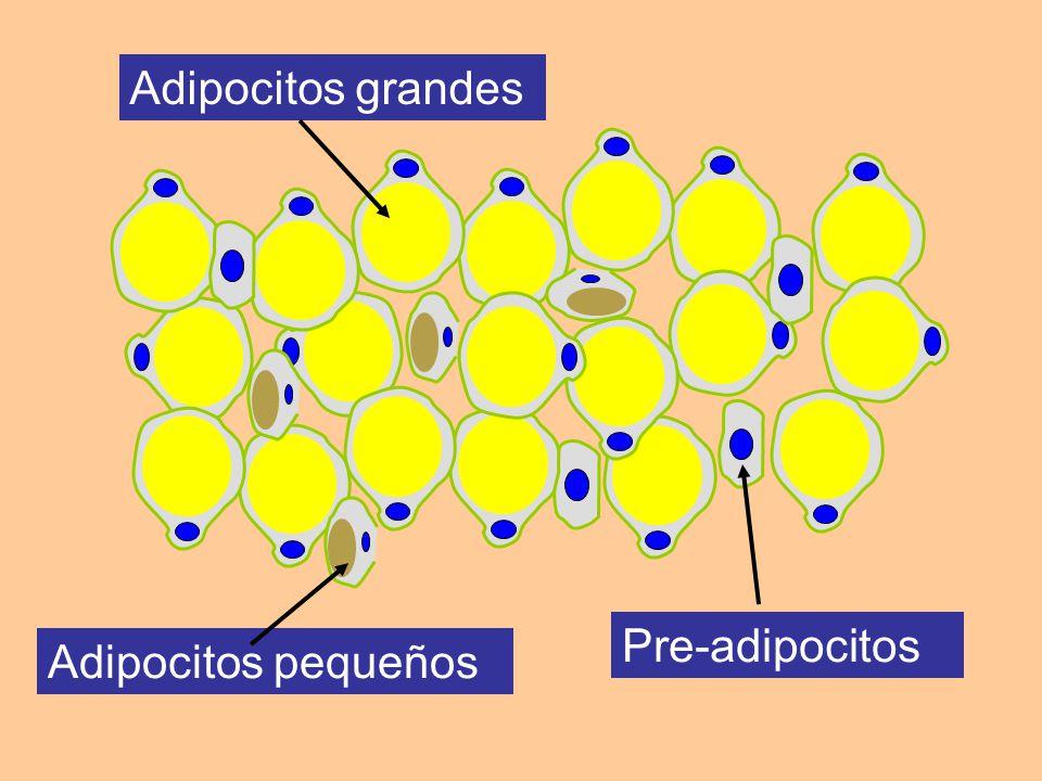 Adipocitos grandes Adipocitos pequeños Pre-adipocitos