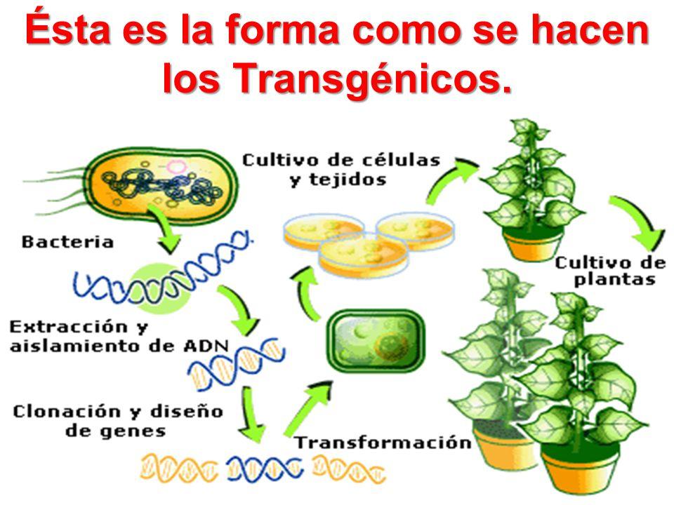 Ésta es la forma como se hacen los Transgénicos.
