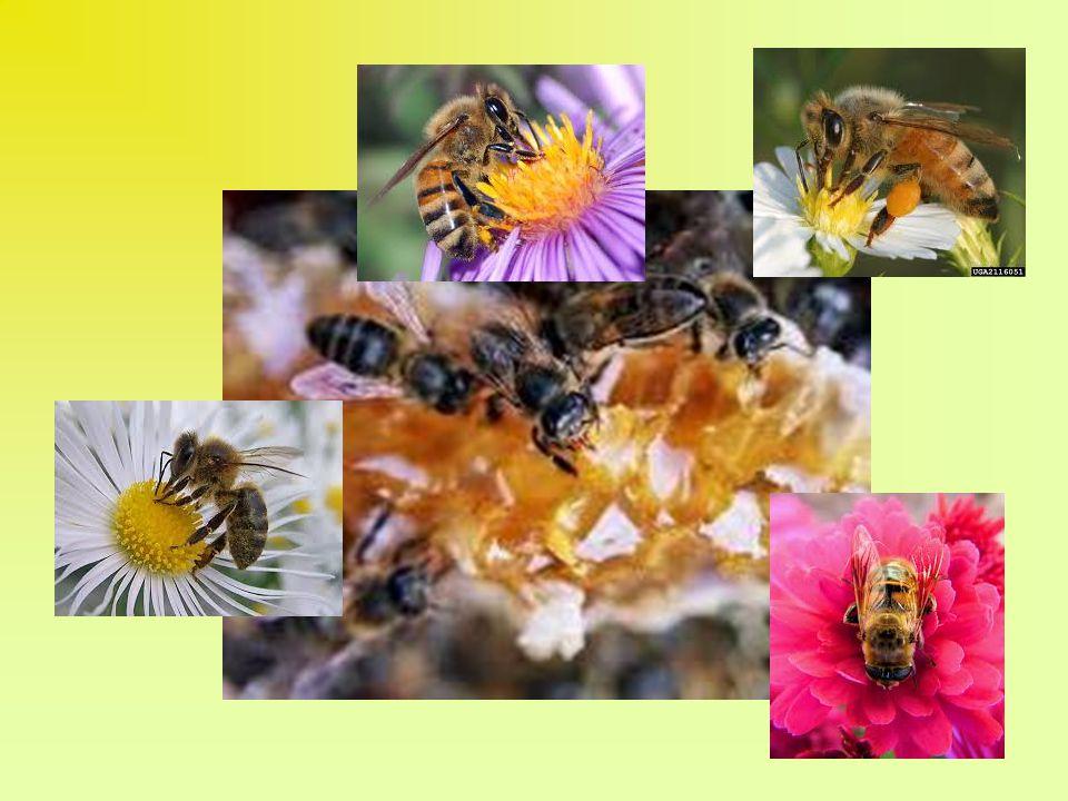 y entenderán, en comenzando a rezar, que se vienen las abejas a la colmena y se entran en ella para labrar la miel, Y aunque al principio no se entienda esto, por no ser tanto (…), si se usa algunos días y nos hacemos esta fuerza, verse ha claro la ganancia