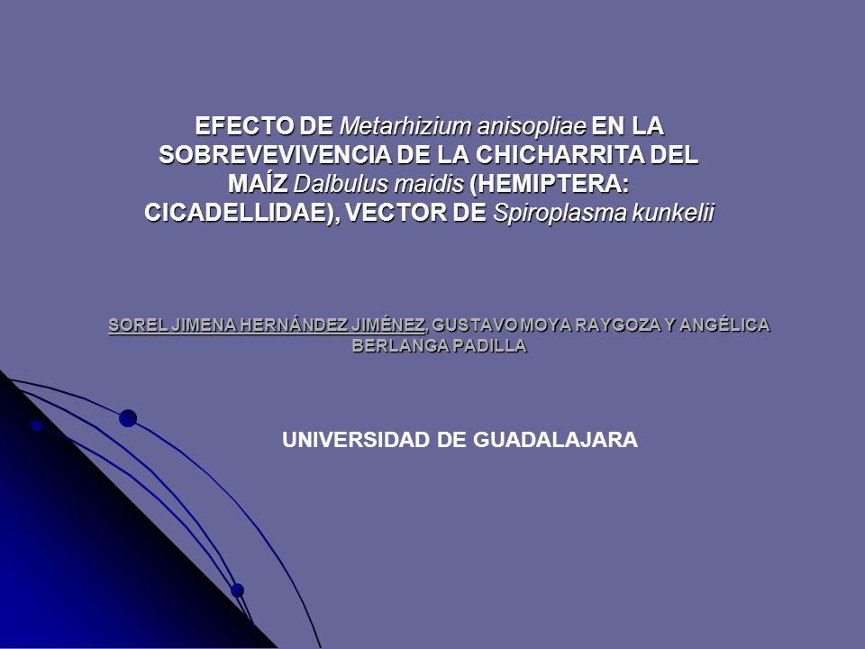 SOREL JIMENA HERNÁNDEZ JIMÉNEZ, GUSTAVO MOYA RAYGOZA Y ANGÉLICA BERLANGA PADILLA EFECTO DE Metarhizium anisopliae EN LA SOBREVEVIVENCIA DE LA CHICHARRITA DEL MAÍZ Dalbulus maidis (HEMIPTERA: CICADELLIDAE), VECTOR DE Spiroplasma kunkelii UNIVERSIDAD DE GUADALAJARA