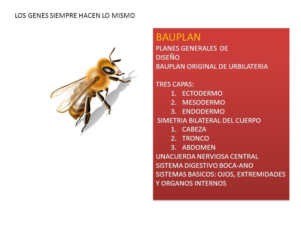BAUPLAN PLANES GENERALES DE DISEÑO BAUPLAN ORIGINAL DE URBILATERIA TRES CAPAS: 1.ECTODERMO 2.MESODERMO 3.ENDODERMO SIMETRIA BILATERAL DEL CUERPO 1.CABEZA 2.TRONCO 3.ABDOMEN UNACUERDA NERVIOSA CENTRAL SISTEMA DIGESTIVO BOCA-ANO SISTEMAS BASICOS: OJOS, EXTREMIDADES Y ORGANOS INTERNOS BAUPLAN PLANES GENERALES DE DISEÑO BAUPLAN ORIGINAL DE URBILATERIA TRES CAPAS: 1.ECTODERMO 2.MESODERMO 3.ENDODERMO SIMETRIA BILATERAL DEL CUERPO 1.CABEZA 2.TRONCO 3.ABDOMEN UNACUERDA NERVIOSA CENTRAL SISTEMA DIGESTIVO BOCA-ANO SISTEMAS BASICOS: OJOS, EXTREMIDADES Y ORGANOS INTERNOS LOS GENES SIEMPRE HACEN LO MISMO