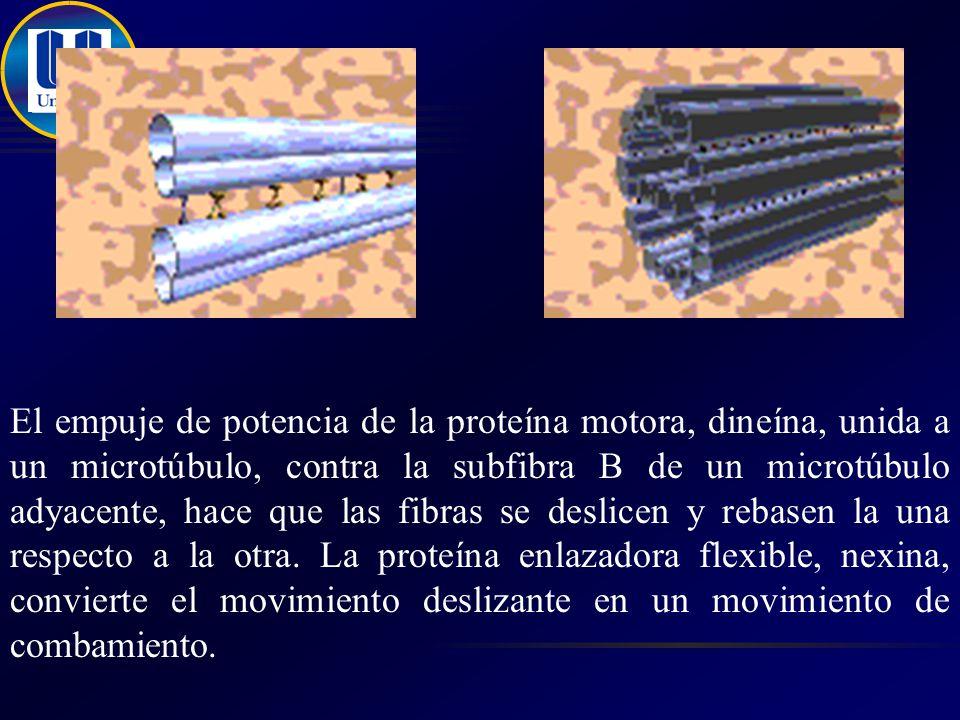 El empuje de potencia de la proteína motora, dineína, unida a un microtúbulo, contra la subfibra B de un microtúbulo adyacente, hace que las fibras se deslicen y rebasen la una respecto a la otra.