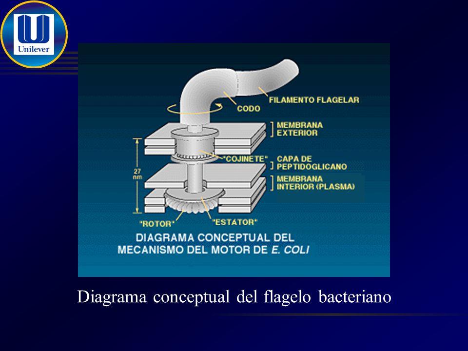 Diagrama conceptual del flagelo bacteriano