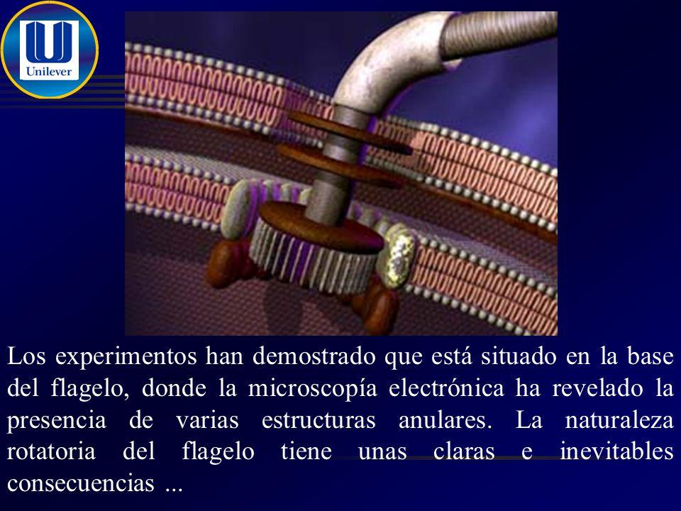 Los experimentos han demostrado que está situado en la base del flagelo, donde la microscopía electrónica ha revelado la presencia de varias estructuras anulares.