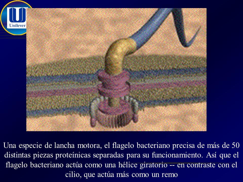 Una especie de lancha motora, el flagelo bacteriano precisa de más de 50 distintas piezas proteínicas separadas para su funcionamiento.