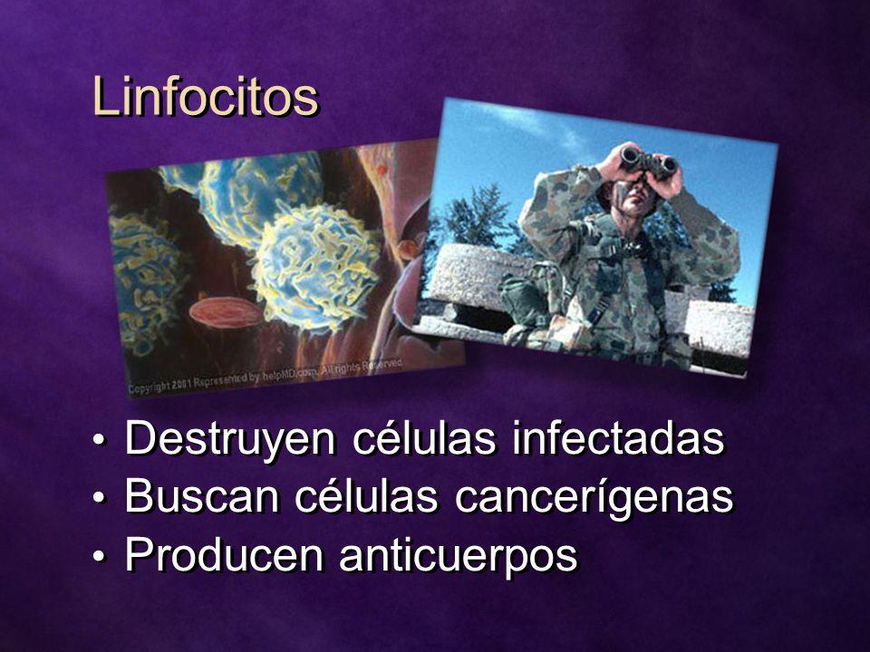 Linfocitos Destruyen células infectadas Buscan células cancerígenas Producen anticuerpos Destruyen células infectadas Buscan células cancerígenas Producen anticuerpos