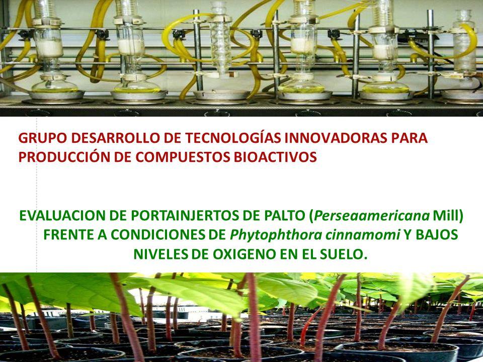 GRUPO DESARROLLO DE TECNOLOGÍAS INNOVADORAS PARA PRODUCCIÓN DE COMPUESTOS BIOACTIVOS EVALUACION DE PORTAINJERTOS DE PALTO (Perseaamericana Mill) FRENTE A CONDICIONES DE Phytophthora cinnamomi Y BAJOS NIVELES DE OXIGENO EN EL SUELO.