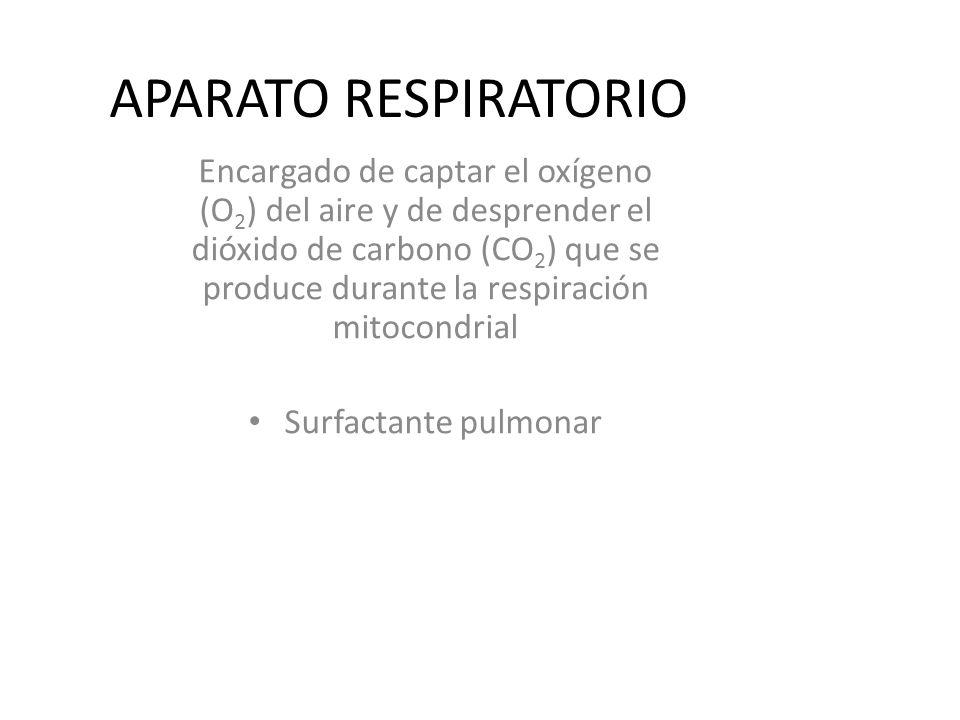 APARATO RESPIRATORIO Encargado de captar el oxígeno (O 2 ) del aire y de desprender el dióxido de carbono (CO 2 ) que se produce durante la respiración mitocondrial Surfactante pulmonar