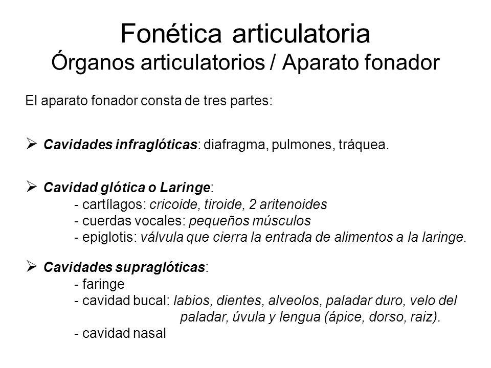 Fonética articulatoria Órganos articulatorios / Aparato fonador El aparato fonador consta de tres partes:  Cavidades infraglóticas: diafragma, pulmones, tráquea.