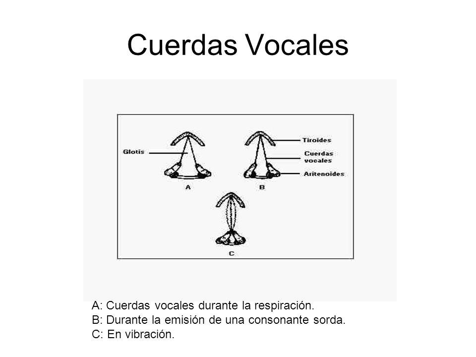 Cuerdas Vocales A: Cuerdas vocales durante la respiración.