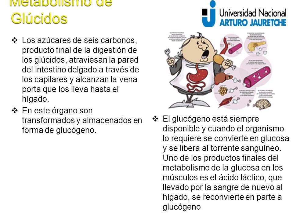  Los azúcares de seis carbonos, producto final de la digestión de los glúcidos, atraviesan la pared del intestino delgado a través de los capilares y alcanzan la vena porta que los lleva hasta el hígado.