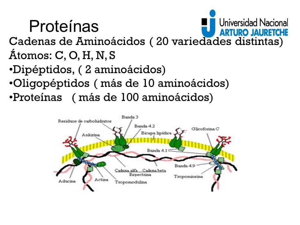 Cadenas de Aminoácidos ( 20 variedades distintas) Átomos: C, O, H, N, S Dipéptidos, ( 2 aminoácidos) Oligopéptidos ( más de 10 aminoácidos) Proteínas ( más de 100 aminoácidos) Proteínas