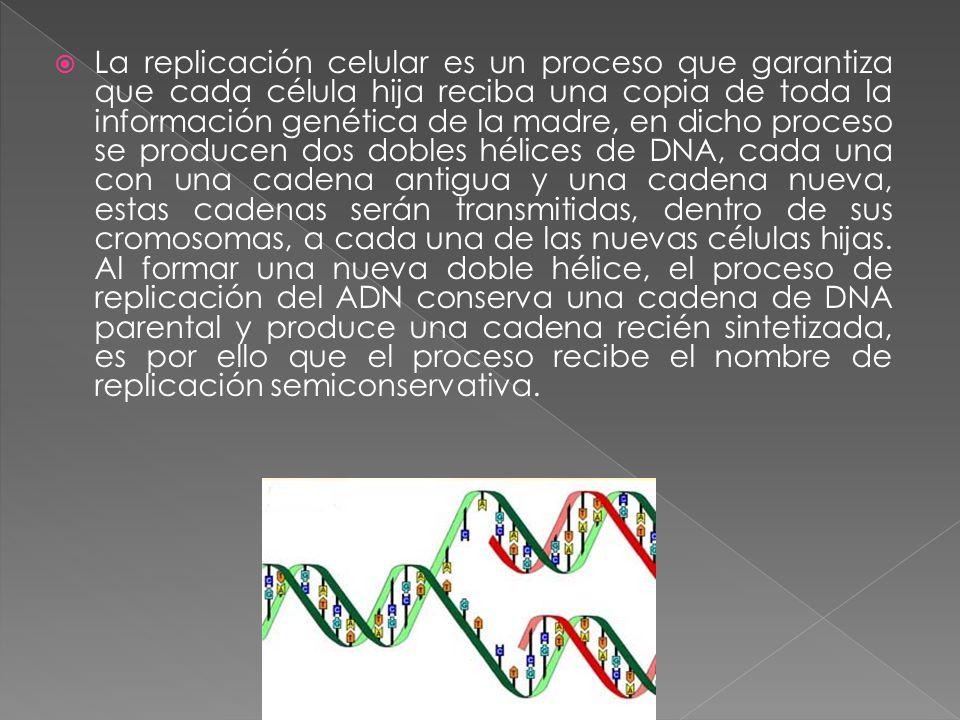  La replicación celular es un proceso que garantiza que cada célula hija reciba una copia de toda la información genética de la madre, en dicho proceso se producen dos dobles hélices de DNA, cada una con una cadena antigua y una cadena nueva, estas cadenas serán transmitidas, dentro de sus cromosomas, a cada una de las nuevas células hijas.