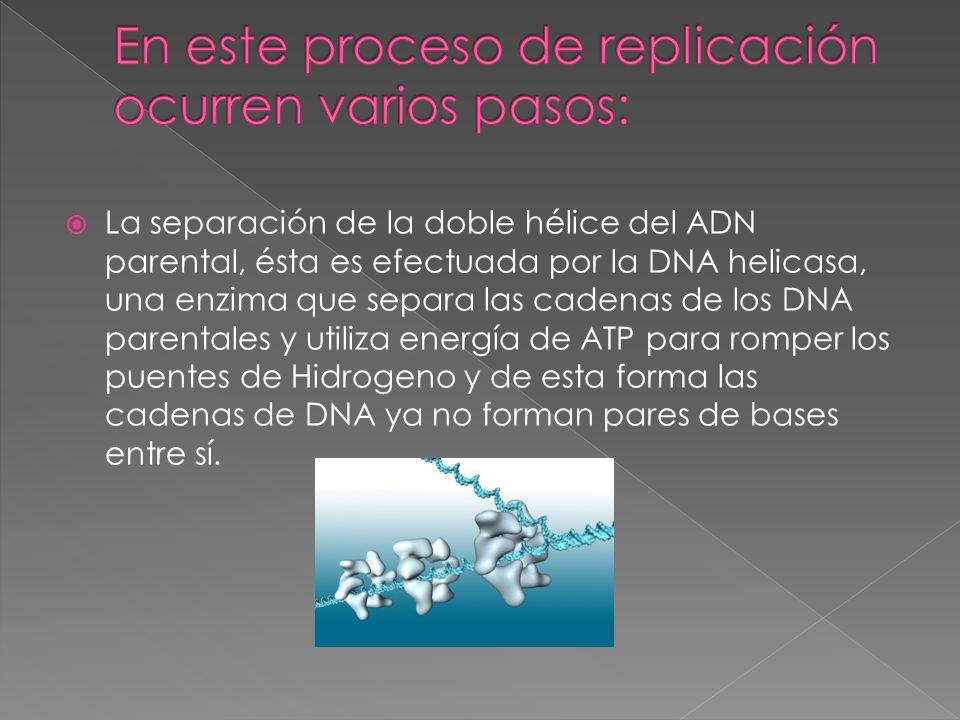  La separación de la doble hélice del ADN parental, ésta es efectuada por la DNA helicasa, una enzima que separa las cadenas de los DNA parentales y utiliza energía de ATP para romper los puentes de Hidrogeno y de esta forma las cadenas de DNA ya no forman pares de bases entre sí.