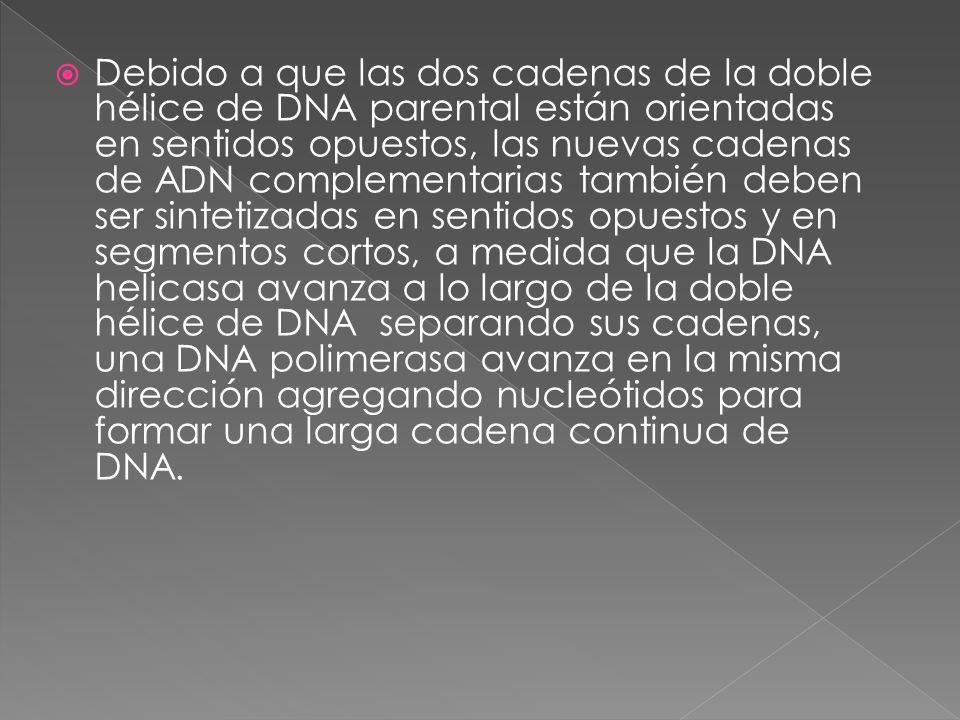  Debido a que las dos cadenas de la doble hélice de DNA parental están orientadas en sentidos opuestos, las nuevas cadenas de ADN complementarias también deben ser sintetizadas en sentidos opuestos y en segmentos cortos, a medida que la DNA helicasa avanza a lo largo de la doble hélice de DNA separando sus cadenas, una DNA polimerasa avanza en la misma dirección agregando nucleótidos para formar una larga cadena continua de DNA.