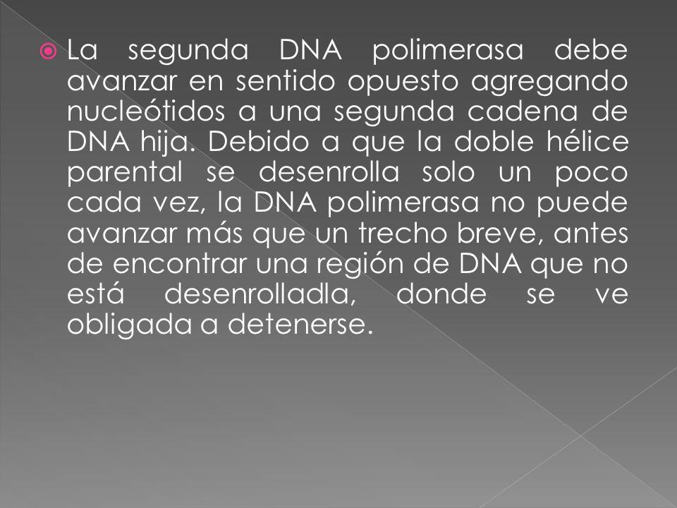  La segunda DNA polimerasa debe avanzar en sentido opuesto agregando nucleótidos a una segunda cadena de DNA hija.