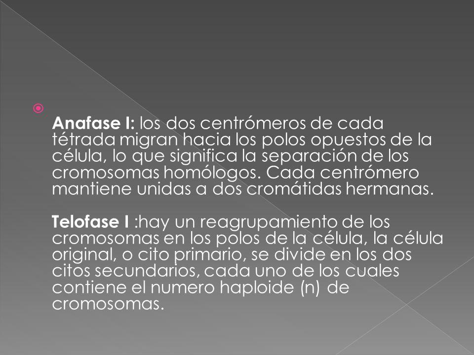  Anafase I: los dos centrómeros de cada tétrada migran hacia los polos opuestos de la célula, lo que significa la separación de los cromosomas homólogos.