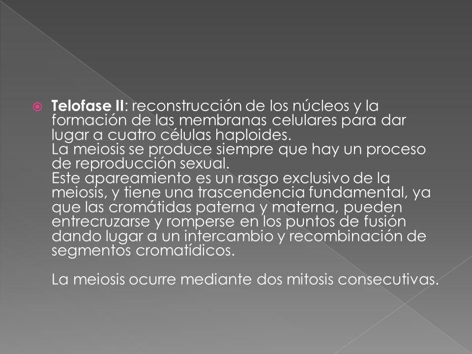  Telofase II : reconstrucción de los núcleos y la formación de las membranas celulares para dar lugar a cuatro células haploides.