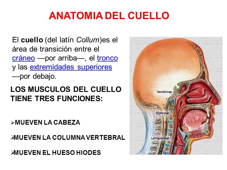 Excelente Cabeza Dental Y La Anatomía Del Cuello Colección ...