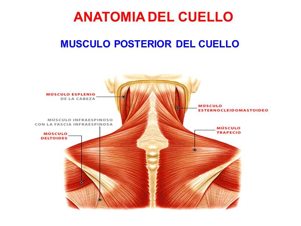 Dorable Anatomía De Un Cuello Molde - Imágenes de Anatomía Humana ...