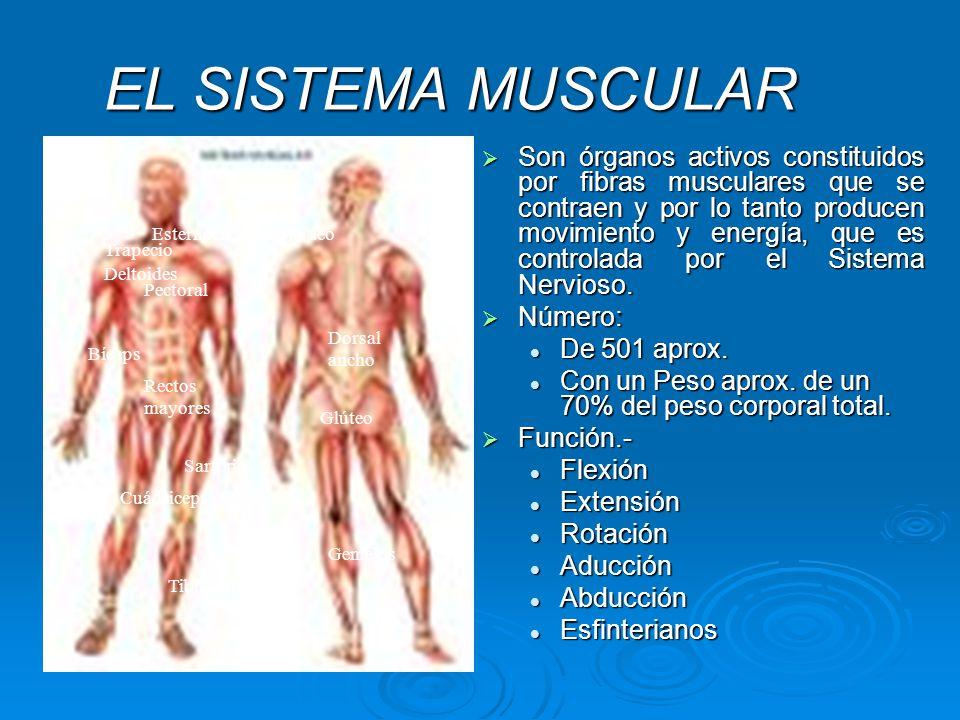 Encantador Funciones Principales Sistema Muscular Cresta - Anatomía ...