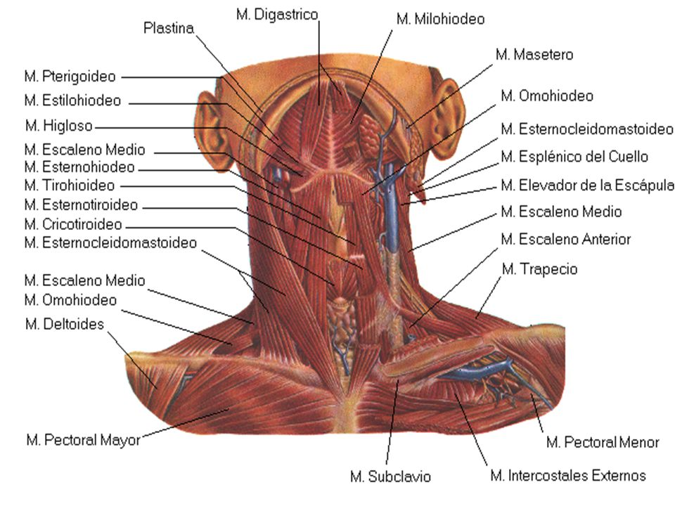 Perfecto Cuello Anatomía Del Esqueleto Colección - Anatomía de Las ...