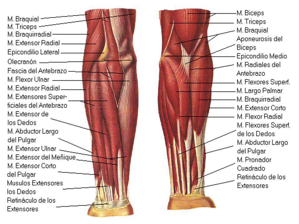 Increíble Anatomía De Los Músculos Traseros Humanos Foto - Anatomía ...